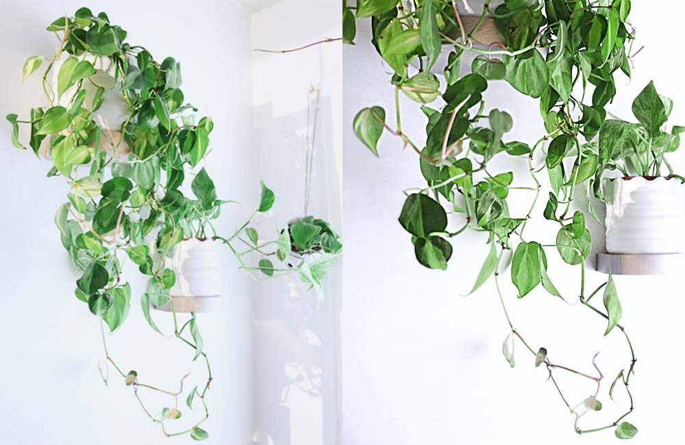philodendron3